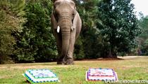 Bubbles The Elephant -- Picks Super Bowl Winner ... Piece-a-Cake!