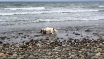 Adorable Video -- My Dog Saved Baby Dolphin ... Man Says (video)