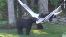 Fun Times -- Family Of Bears Relaxing On A Hammock (VIDEO)