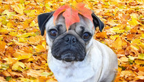 Instagram's Fall Lovin' Dog -- See The Seasonal Appropriate Pug!