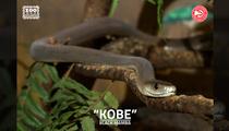 Kobe Bryant -- ATL Zoo Names Black Mamba ... After Black Mamba