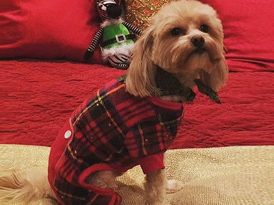 Guess The Festive Pooch -- See Whose Flannel Wearing Fido!