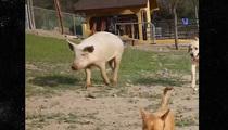 Cesar Millan -- Ear's My Pig ... All Growed Up (VIDEO)