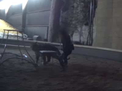 Hollywood Animal Trainer -- 5 Animal Cruelty Charges for Vicious Tiger Whipping (VIDEO)
