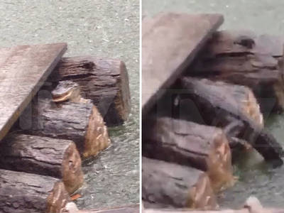 Disney World -- Scary Gator Encounter ... Weeks Before Deadly Attack (VIDEO + PHOTO)