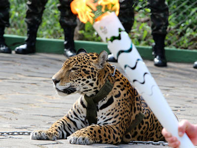 Rio Olympics -- 'Mascot' Jaguar Shot Dead After Torch Ceremony