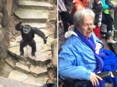 Chimpanzee Flings Poo, Grandma Gets It IN THE FACE!! (VIDEO)