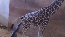 April the Giraffe Finally Gives Birth and it's Gnarly!!! (VIDEO)