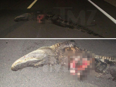 Alligator in Critical Condition After Getting Hit By Motorcycle in Florida (PHOTOS)