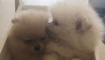 Kim Kardashian's New Puppies for North and Penelope Look Like Micro Pomeranians, BUT ...