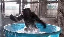 Dancing Gorilla Is a Maniac, Maniac at Your Door!