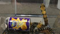 Killer Snake in a Can, Feds Arrest Alleged King Cobra Smuggler